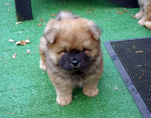 Chow Chow Puppy Cute Baby Animals Baby Animals Cute Animals