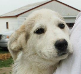 San Diego is an adoptable Husky Dog in Lexington, MO. San Diego is a playful and cheerful Husky mix puppy who is white-beige in color with brownish markings. Weight: 10 pounds. Age: 4 months. Cost: $6...