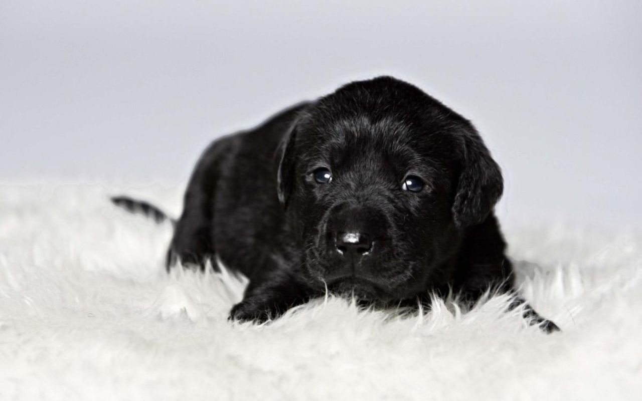 Download Wallpaper Black Adorable Dog - 5d64ab0011b60c576f92f756dc0fd663  Perfect Image Reference_24387  .jpg
