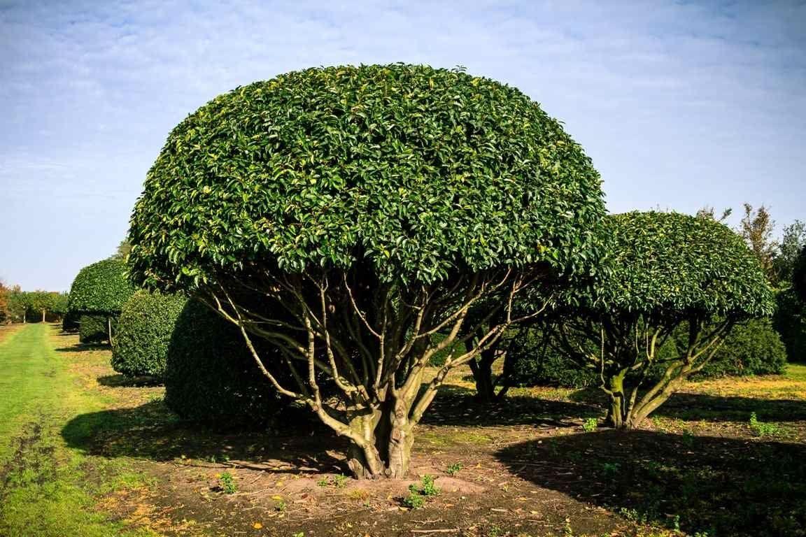 Prunus lusitanica multistem