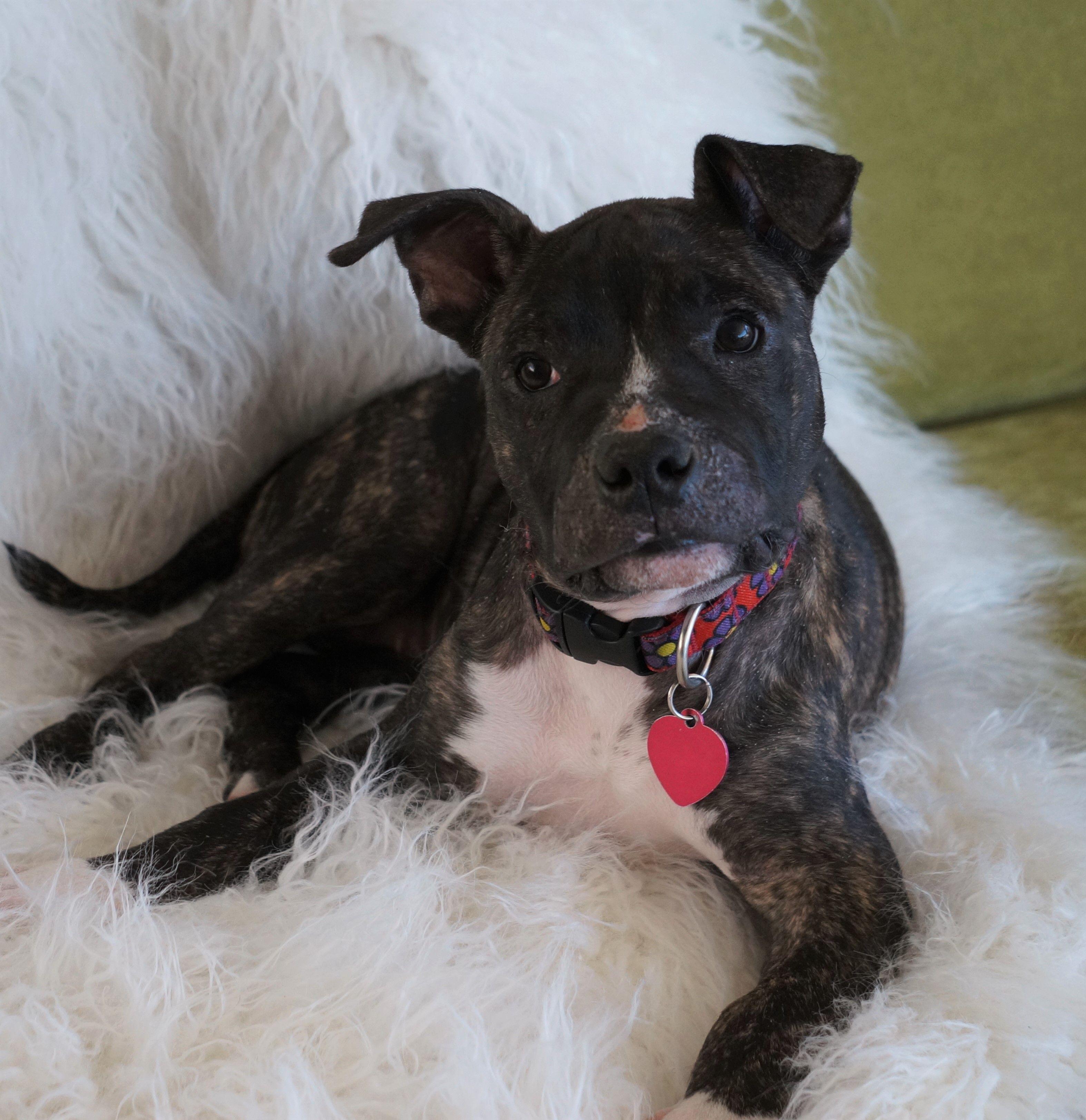 Bullboxer Pit dog for Adoption in Pasadena, CA. ADN697487