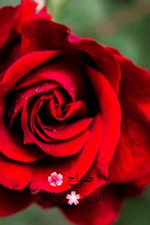 صباح الخير صباح ورد الجوري Arabic Quotes Flowers Rose