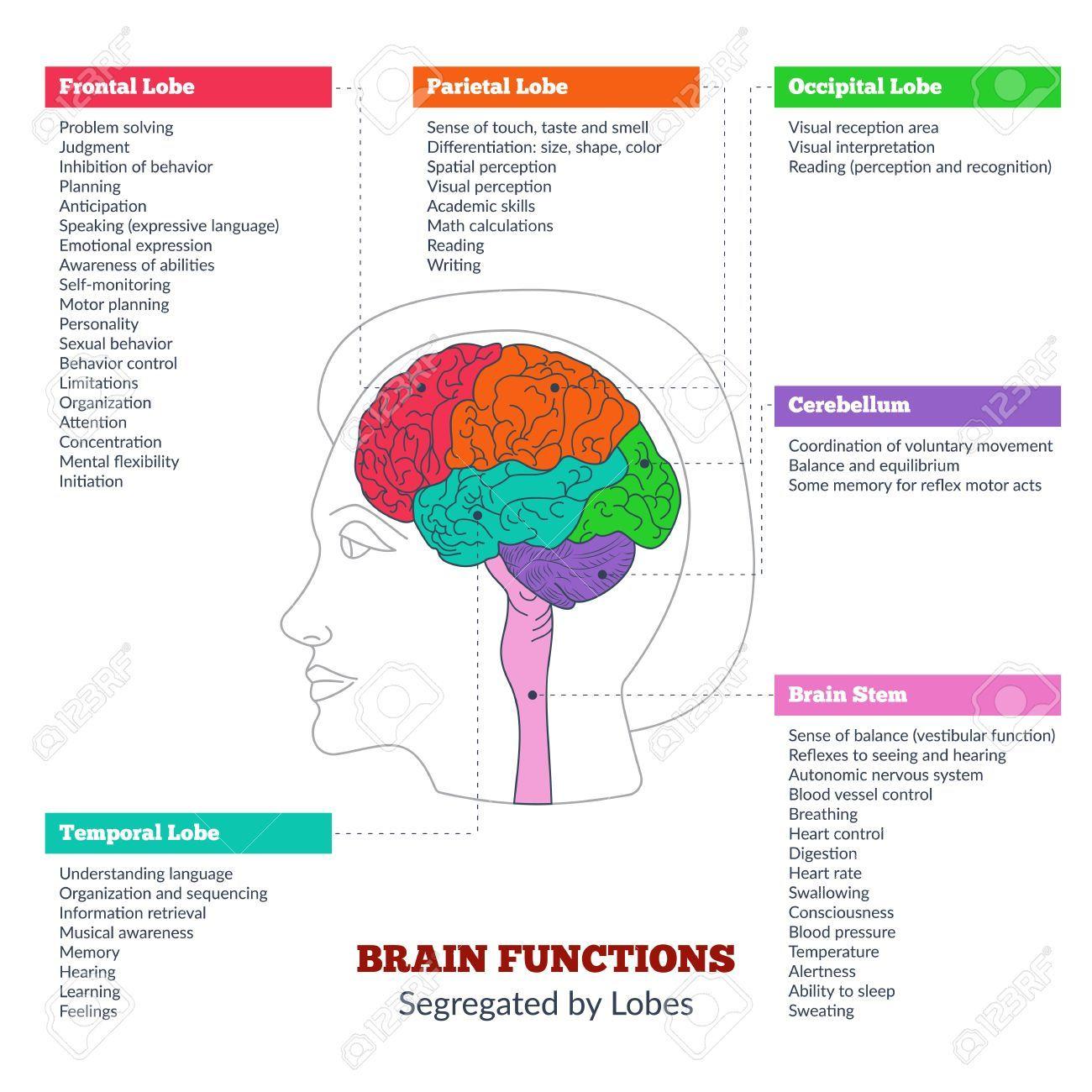 Related Image Anatomia Del Cerebro Humano Funciones Del Cerebro Humano Cerebro Humano