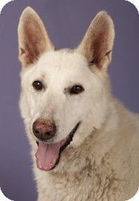 Chicago, IL - German Shepherd Dog. Meet Luna, a dog for adoption. http://www.adoptapet.com/pet/10997498-chicago-illinois-german-shepherd-dog