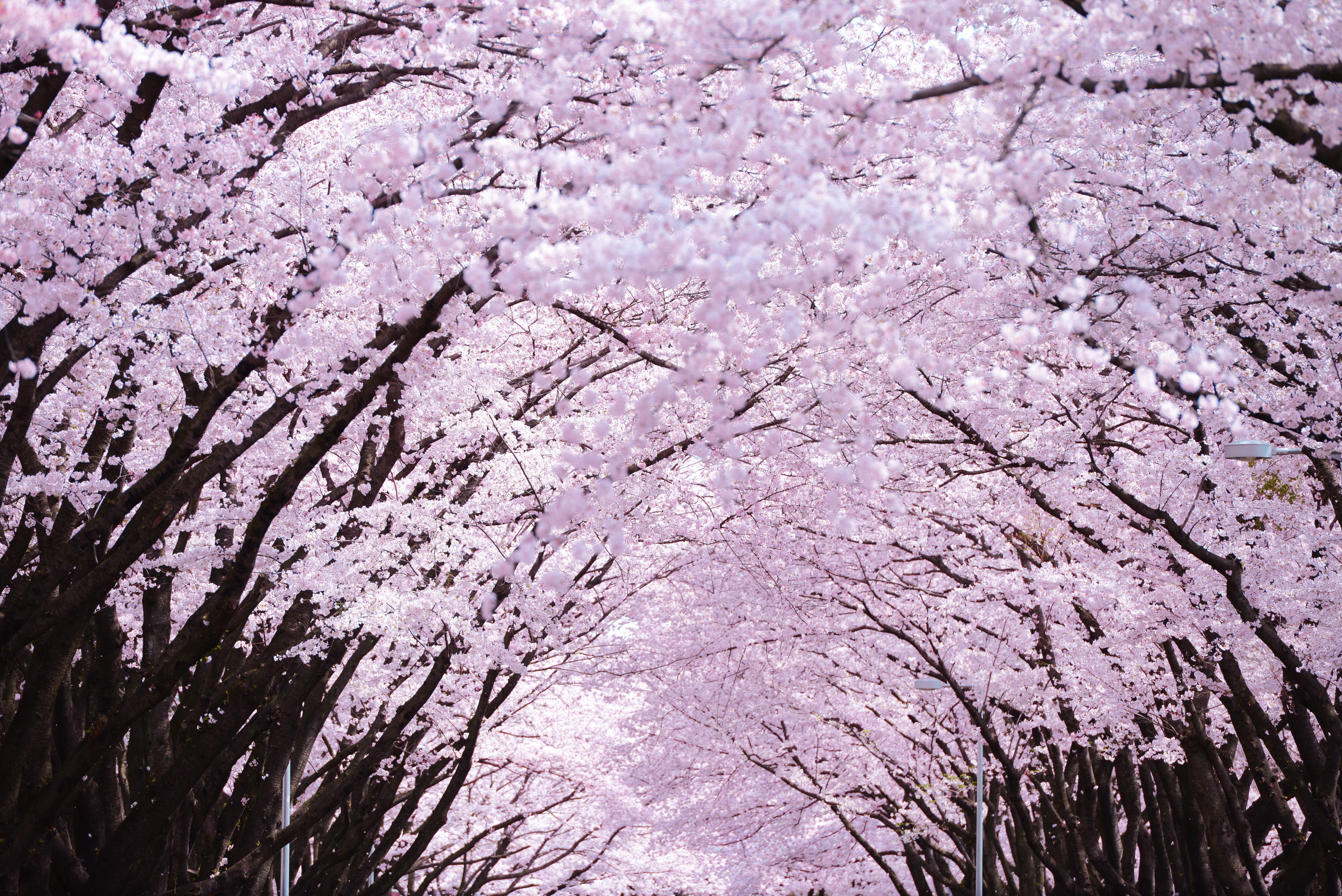 Cherry Blossoms History Behind The Bloom Spring Wallpaper Hd Tree Wallpaper Iphone Spring Wallpaper