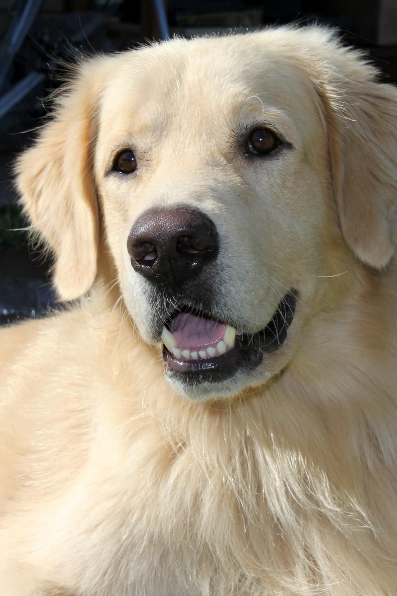 Adopt Pj Jake Placed On Dogs Old Golden Retriever Golden