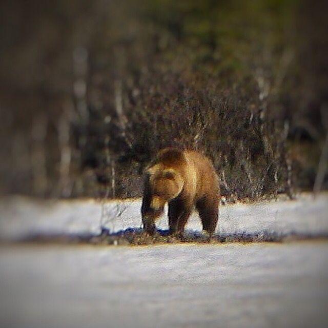 Boa Noite! Ainda sobre o Alaska Bicho Solto  #caicodequeiroz #urso #ursos #Bear #confusaocq #Alaska #alasca #Bears