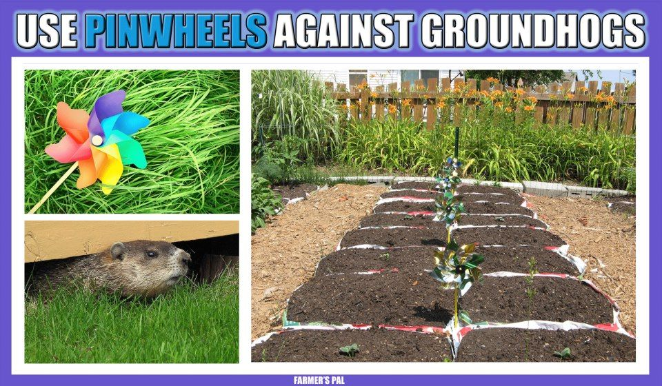 Pinwheels Are An Inexpensive And Whimsical Method Of Keeping Groundhogs Out Of Your Garden These Small Wonders Provide Natural Plants Gardening Tips Pinwheels
