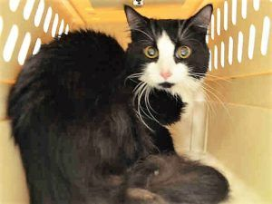To Be Destroyed 07 13 17 One Year Old Dune Came In With A Group Of Hoarding Cats He Is Missing His Nails On His Fron Cat Adoption Foster Cat Cat Shelter