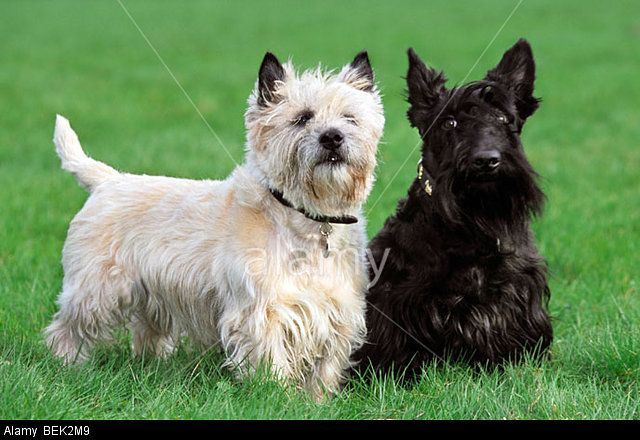 Two Terriers White Cairn Terrier And Black Scottish Terrier
