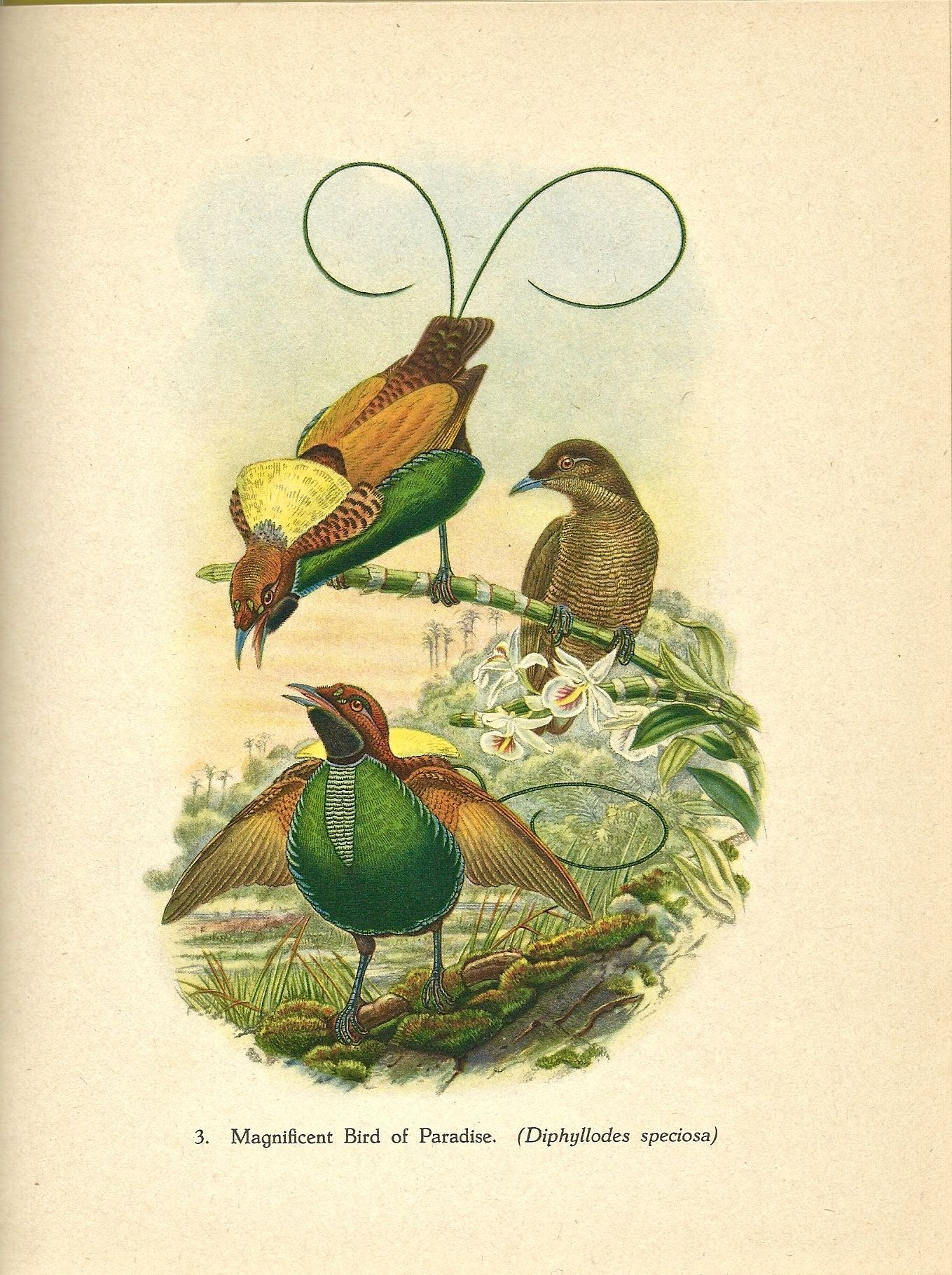 John Gould's Illustration of the Magnificent Bird of Paradise from the 1948 book Tropical Birds.  ($15 for book)  Available at http://www.uncannyartist.com/products/tropical-birds.