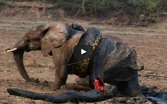 Elephant Vs Lions Attack To Death