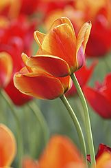 Tulips with staying power | Have you ever planted fabulous tulips and then found that theyre not so great after a couple of years? These flower bulbs are supposed to be perennials, so whats going on?