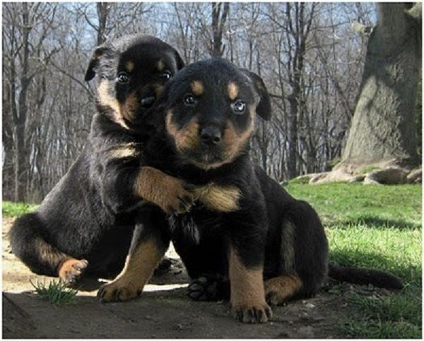 14 Images That May Change Your View Of The Rottweiler. The Last One Will Have You In Stitches!  #rottweiler #dogs #lol #rotty