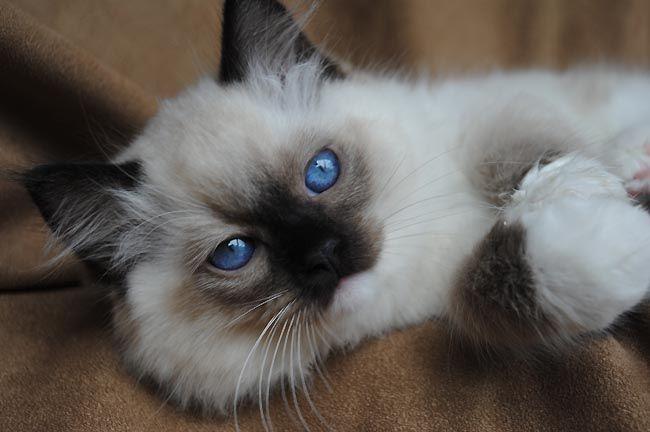 Available Ragdoll Kittens Ragdolls Kittens For Sale Ohio With Images Kittens Ragdoll Kitten Kitten Love