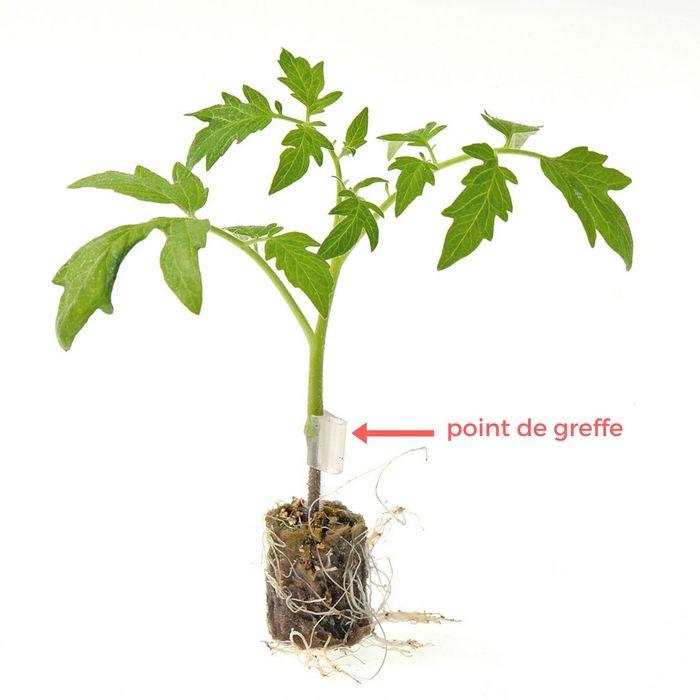 Planter Les Tomates En Mini Mottes Astuce Jardinage Planter Tomates Jardinage