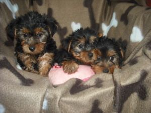 2 Girls 1 Boy Is An Adoptable Yorkshire Terrier Yorkie Dog In