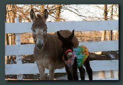 Amore Miniature Donkeys