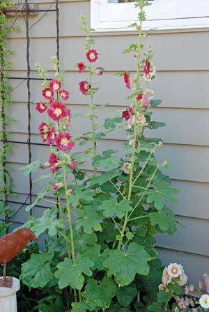 Hollyhock Leaves Riddled With Holes And Spots An Old Fashioned Favorite The Hollyhock Is Easy To Grow But The Leaves Hollyhock Garden Pests Garden Projects