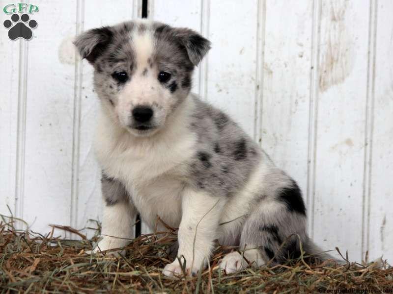 Husky Frases: Blue Heeler Norwegian Elkhound Golden Retreiver Mix