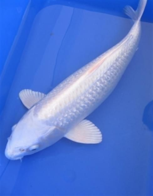 Beautiful white koi platinum ogon koi fish for Ogon koi fish