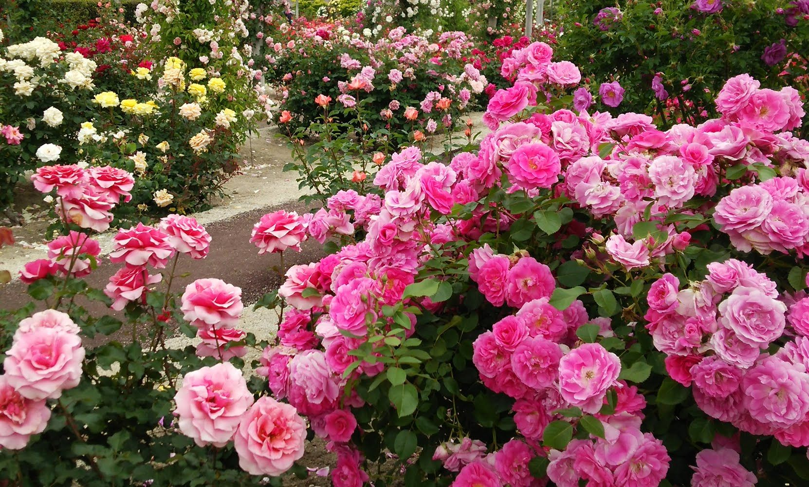 4k Most Beautiful Rose Flowers Flower Shrubs And Colorful Garden