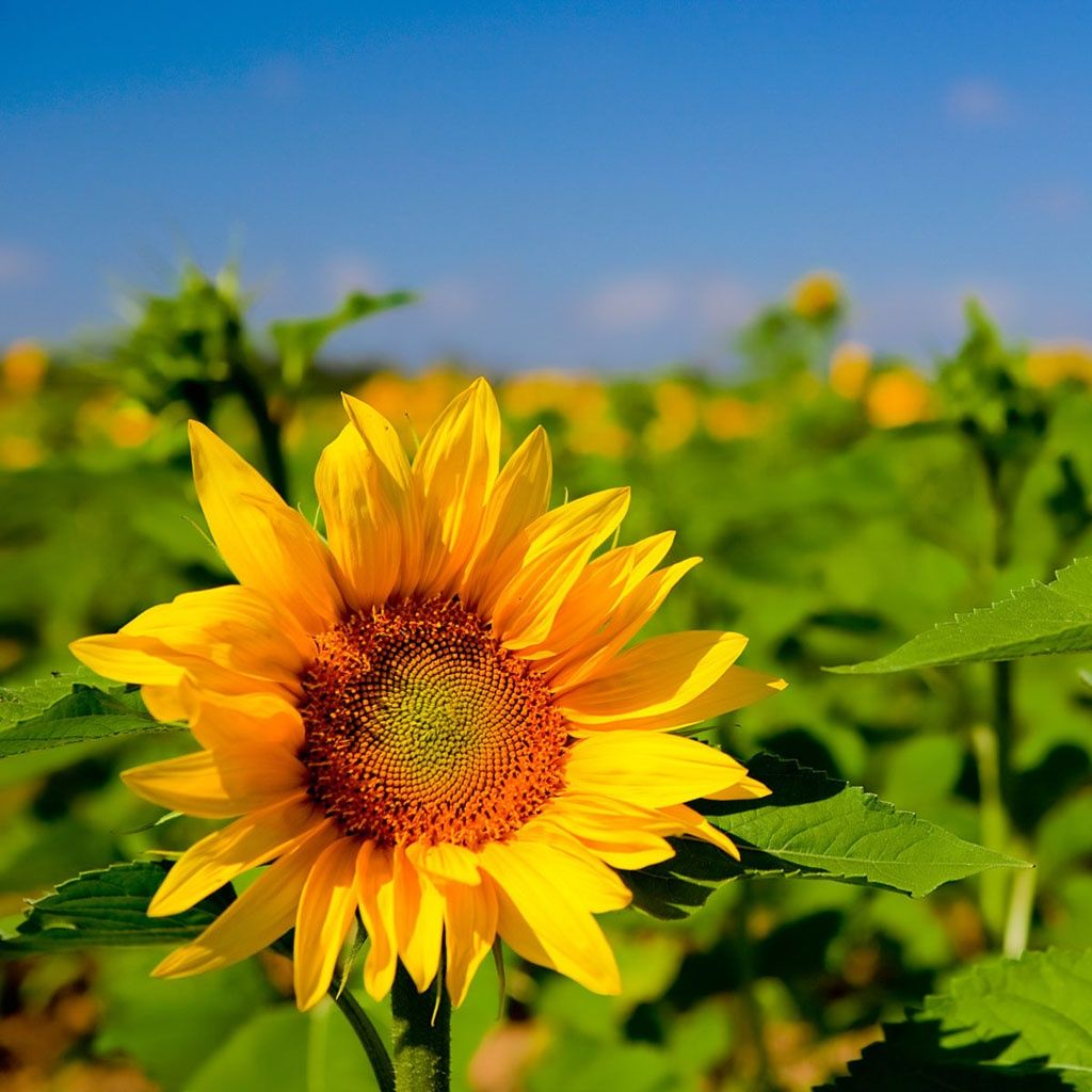 Beautiful Sunflower Sunflower Wallpaper Sunflower Pictures Blooming Sunflower