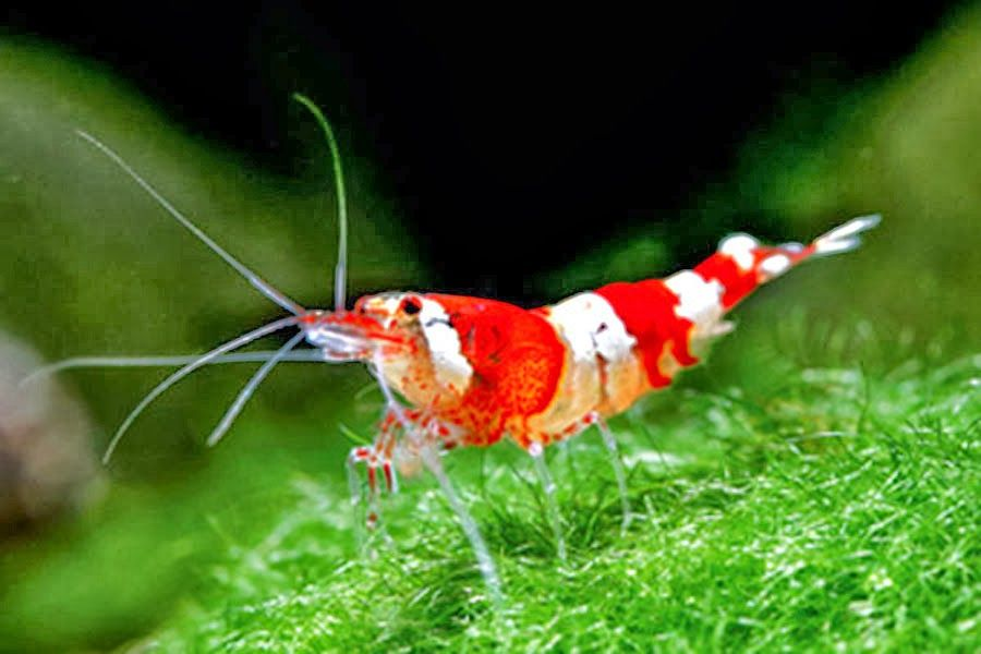 Shrimp In Water Google Search Freshwater Aquarium Shrimp Aquarium Shrimp Tank
