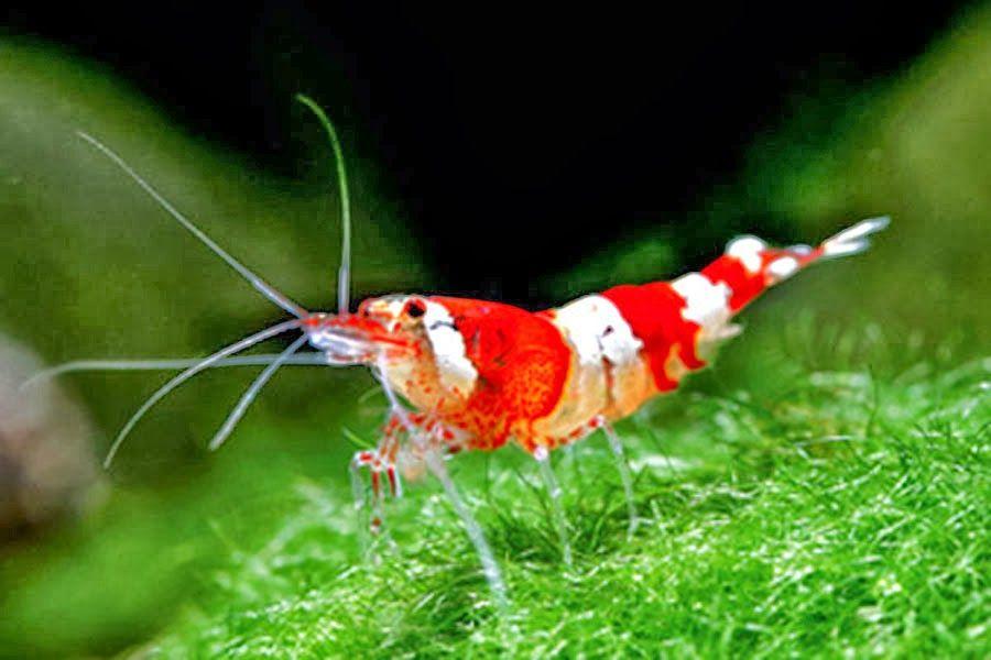 Tropical Aquarium Shrimp