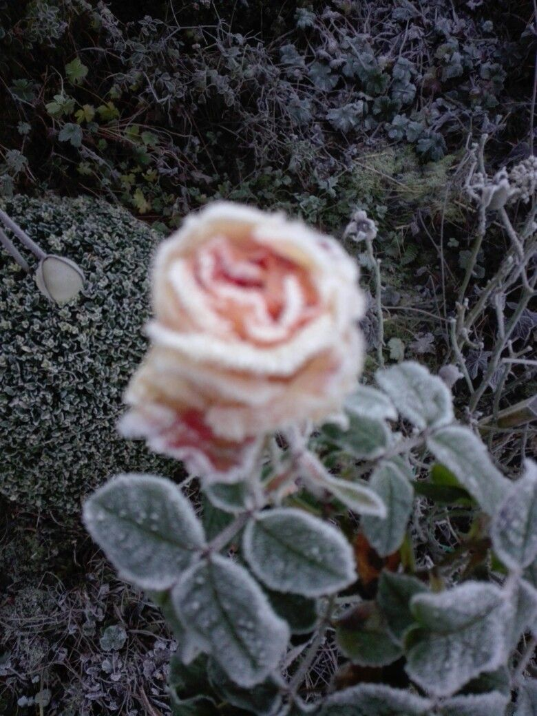 Raureif umhüllt die letzten Rosenblüten Anfang Dezember !
