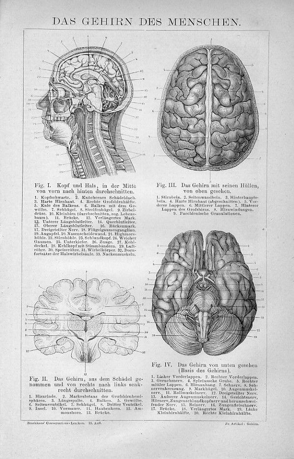 Das Gehirn / The Brain – Großer Brockhaus | anatomy | Pinterest ...