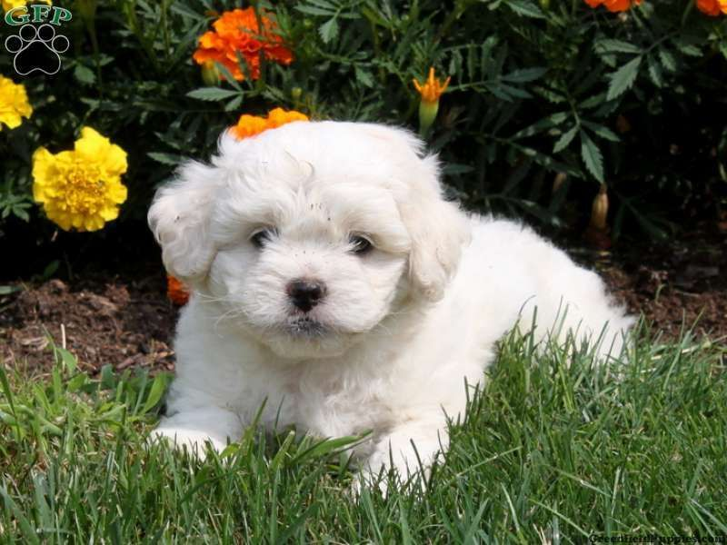 Dustin Peek A Poo Puppy For Sale From Drumore Pa Puppies Cute Dogs Peek A Poo
