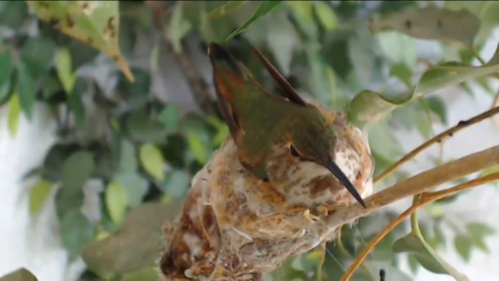 Hummingbird nest cam. One of three new webcams added to the site!