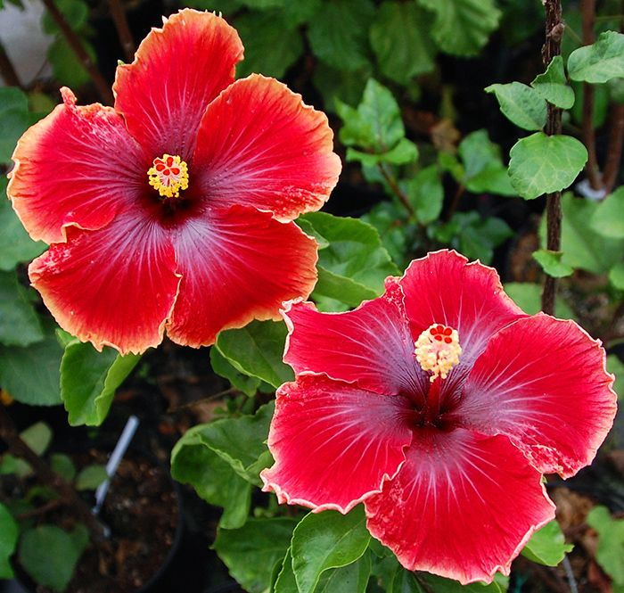 Hibiscus 'Legend of the Dragon'