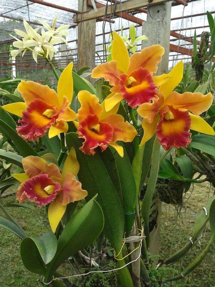 Cattleya orchid beautiful things pinterest cattleya for Orchidea cattleya