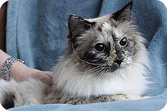 Columbus Oh Ragdoll Meet Bella Boo Boo A Cat For Adoption