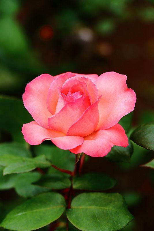 Resultado de imagen para Rosas en jardín pinterest