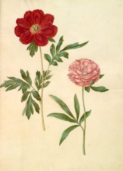 Hans Simon Holtzbecker, 1610-1620 - 1671, former attributed to Maria Sibylla Merian. Paeonia officinalis (bonderose).