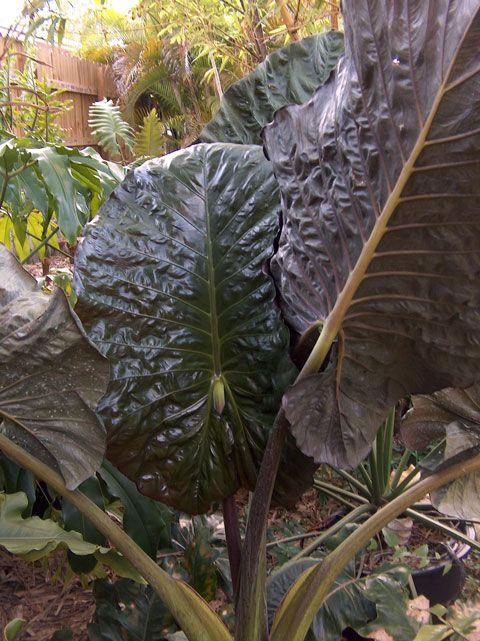 Alocasia wentii PLANT LARGE Tropical garden LIVE PLANT ELEPHANT EAR