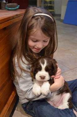 English Springer Spaniel Akc Born 10 12 12 Best Xmas Present Ever English Springer Spaniel Puppy Springer Spaniel Puppies Spaniel Puppies For Sale