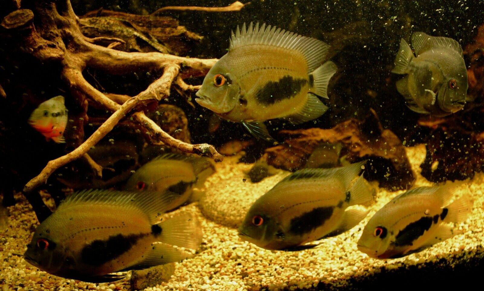 Uaru Cichlid Group of Ten Fish in 2020 Cichlids, South