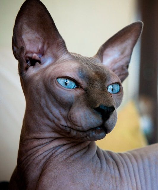 Blue Sphynx Cat Gatos Egipcios Sphynx Gato Sphynx