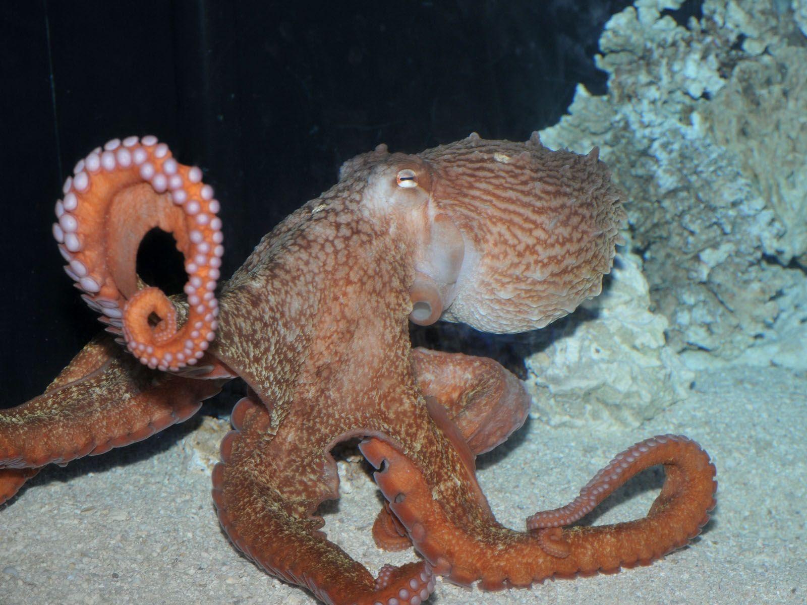Giant Pacific Octopus Giant Pacific Octopus Octopus Octopus Squid