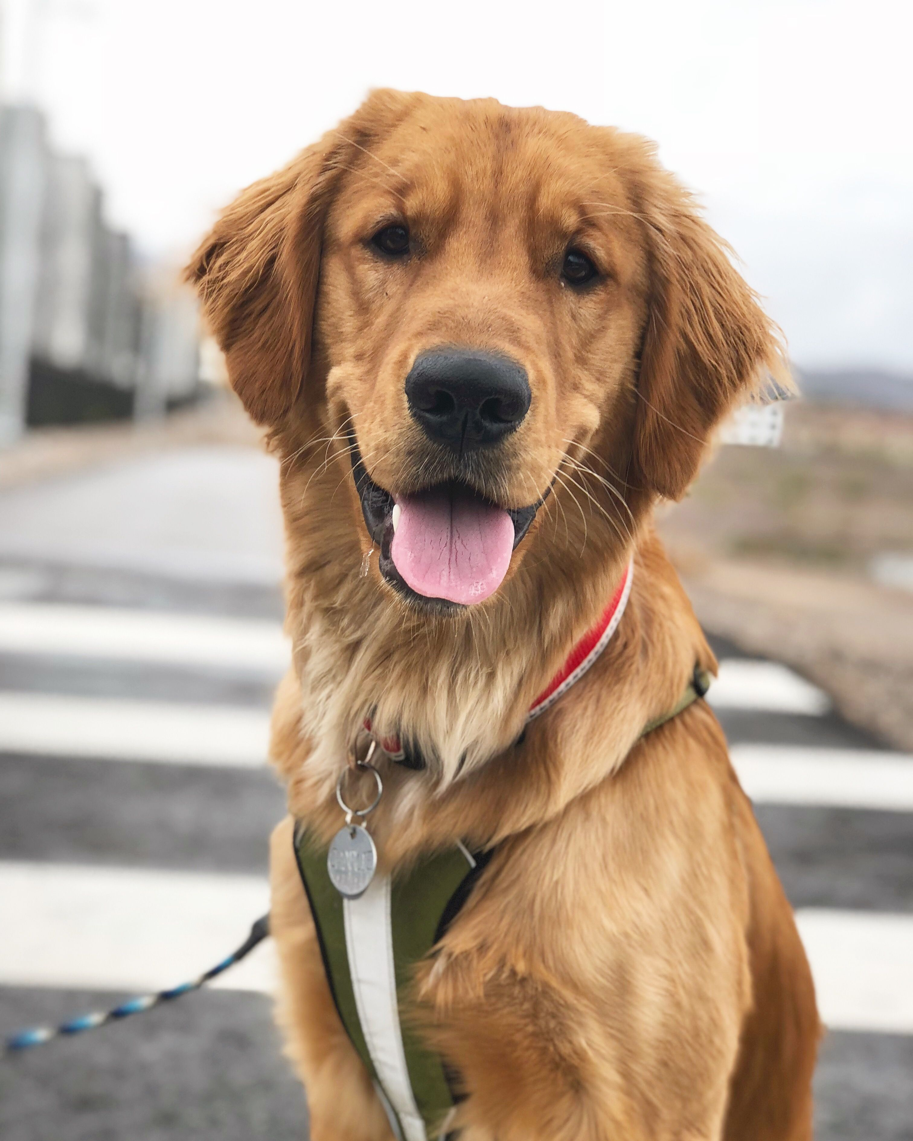 golden retriever puppy Golden retriever puppy, Retriever