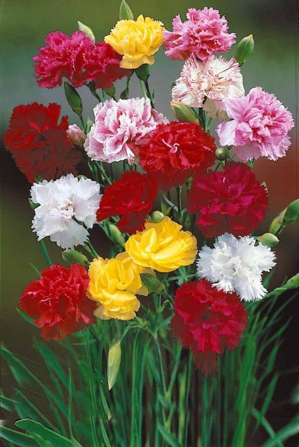 oeillets 39 enfant de nice 39 en m lange images pour cartes oeillets pinterest carnations. Black Bedroom Furniture Sets. Home Design Ideas