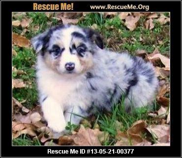 Australian Shepherd Blog ― RescueMe Org | Furbabies