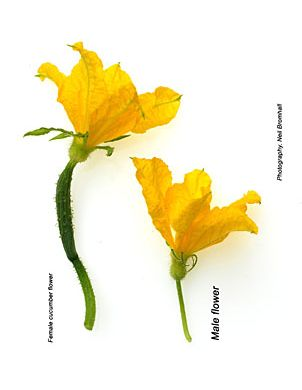 Cucumber How To Identifying Male And Female Flowers Cucumber Flower Cucumber Plant Cucumber Gardening