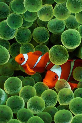 Animals Iphone Wallpaper Idesign Iphone Fish Wallpaper Beautiful Fish Sea Anemone