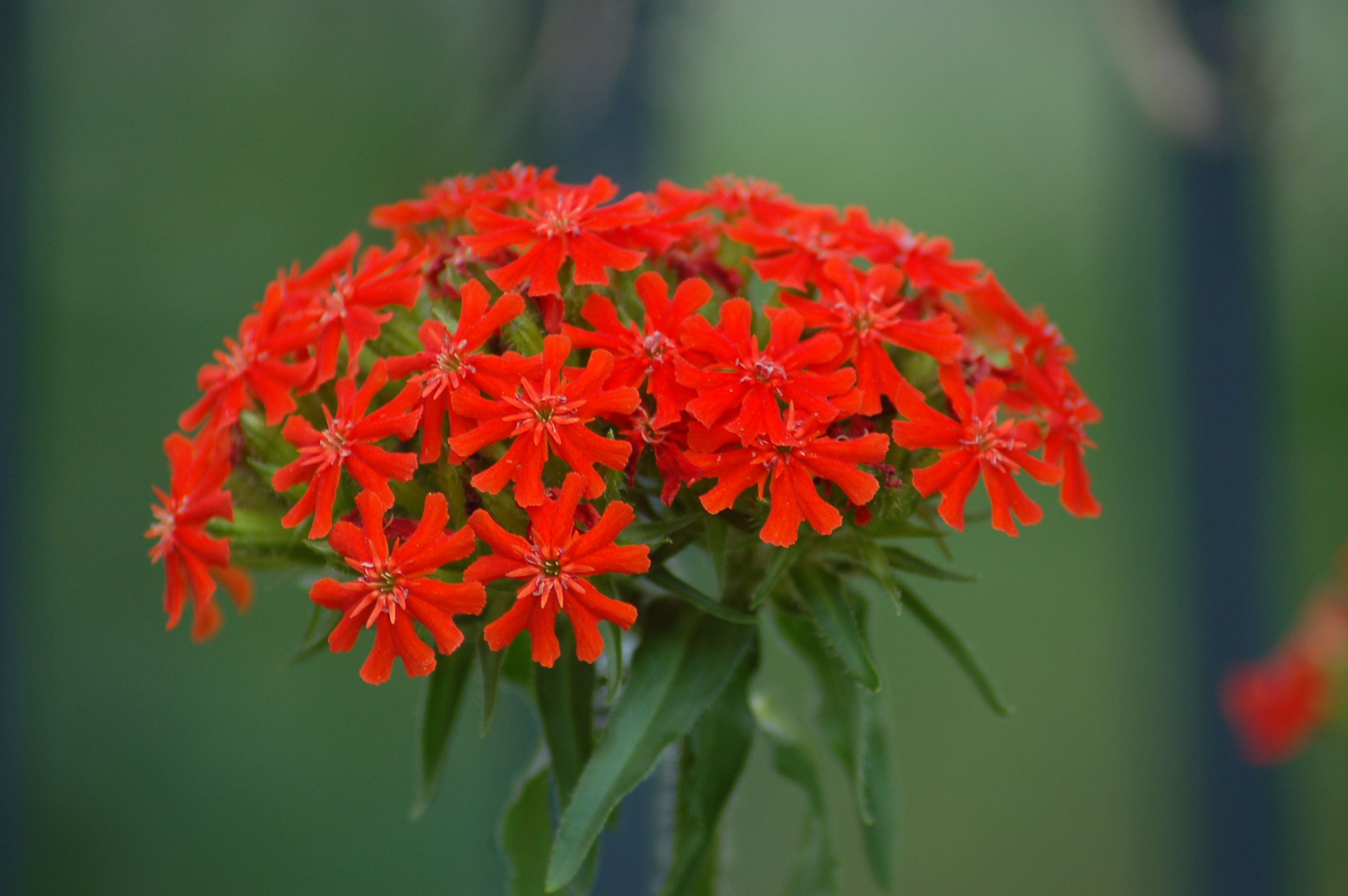 How to Grow and Care for Maltese Cross Plants Plants
