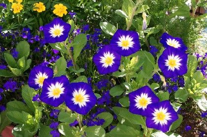 Blue Dwarf Morning Glory Convolvulus Tricolor Purple Plants Morning Glory Beautiful Flowers